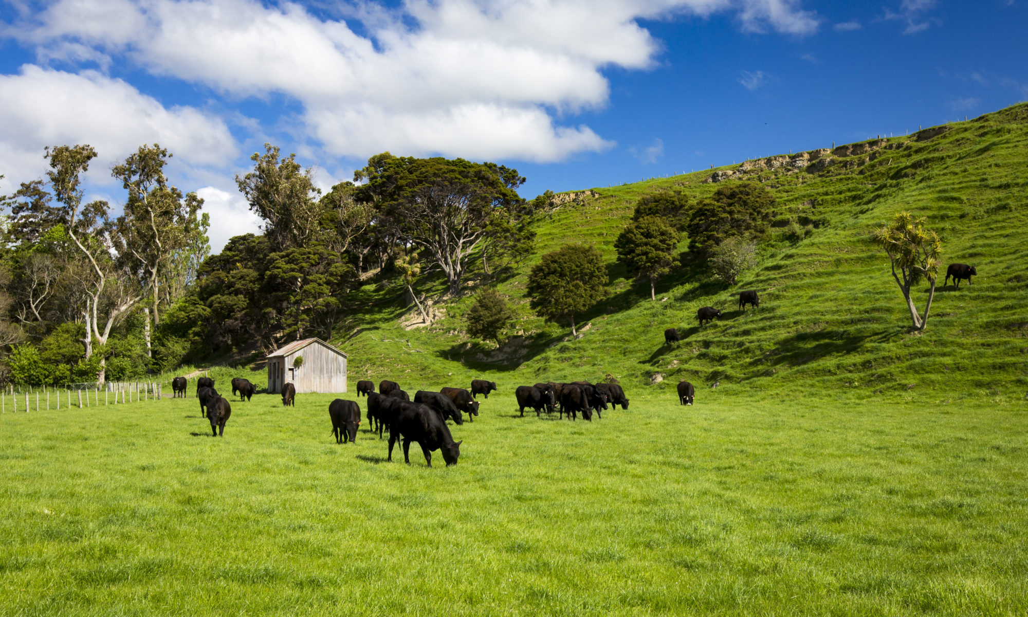 Cattle grazing in pasture Pirinoa Station, New Zealand.